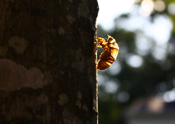 This is a shed cicada skin.  I waited until evening when the sun backlit the skin.