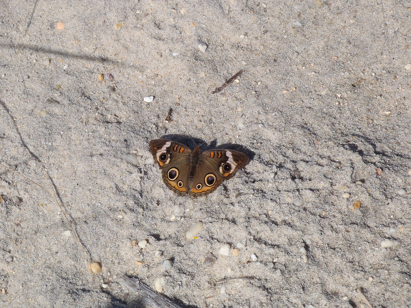 Butterfly on the sand.