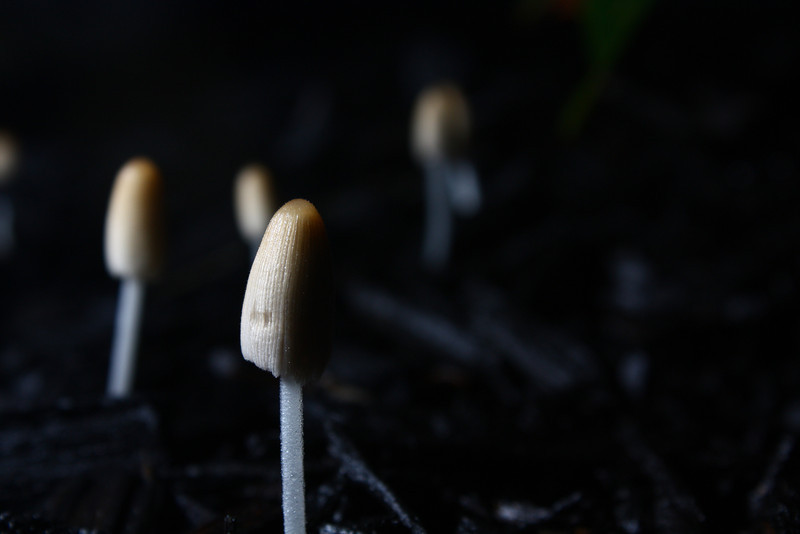 These small mushrooms seem to show up in the evenings when it's wet.  I don't see them during the day.  I used wireless flash to sidelight them.  It was hard to focus in the dark with the kit lens.