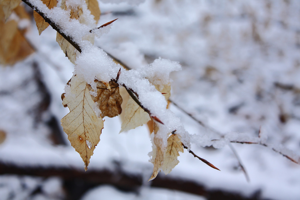Snowy leaves in Patapsco Valley State Park along the Buzzards Rock Trail.  Canon XSi with 18-55 is kit lens.