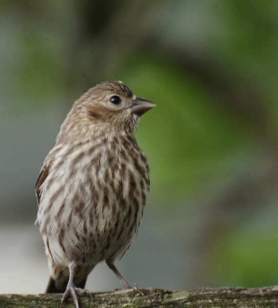 I think this is a house finch.