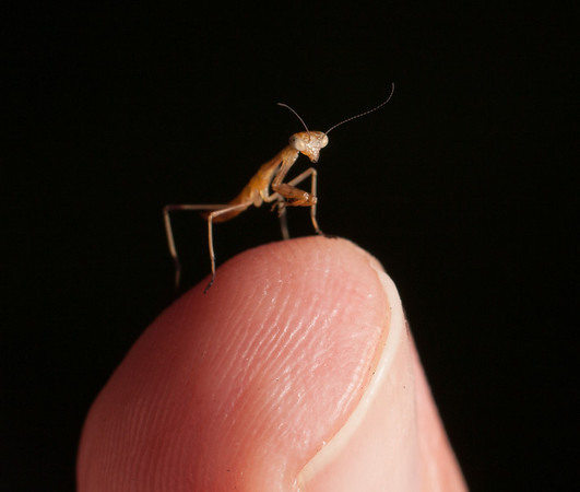 Praying mantis hatchling